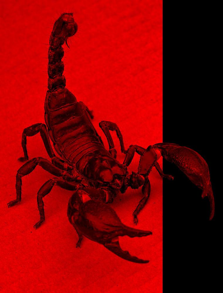 scorpion pest